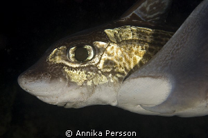The rabbit fish (Chimaera monstrosa) is common at depths ... by Annika Persson 